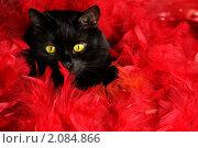 Купить «Черная кошка в красных перьях», фото № 2084866, снято 20 ноября 2019 г. (c) Фрибус Екатерина / Фотобанк Лори