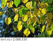 Купить «Липовые осенние листья», эксклюзивное фото № 2088530, снято 17 сентября 2010 г. (c) lana1501 / Фотобанк Лори
