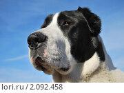 Купить «Среднеазиатская овчарка», фото № 2092458, снято 25 октября 2010 г. (c) Рудаков Сергей / Фотобанк Лори