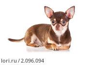 Купить «Собака породы чихуахуа на белом фоне», фото № 2096094, снято 26 октября 2010 г. (c) Сергей Лаврентьев / Фотобанк Лори