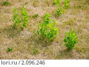Купить «Молодые деревца тополя на выжженном солнцем газоне», эксклюзивное фото № 2096246, снято 21 июля 2010 г. (c) Алёшина Оксана / Фотобанк Лори