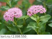 Купить «Спирея японская. Spiraea japonica», эксклюзивное фото № 2098550, снято 29 июня 2010 г. (c) Шичкина Антонина / Фотобанк Лори