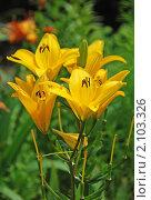 Купить «Желтые лилии», эксклюзивное фото № 2103326, снято 8 июля 2010 г. (c) lana1501 / Фотобанк Лори