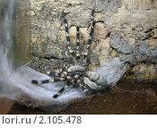 Купить «Шри-ланкийский украшенный паук-птицеед. Смертельно ядовит. Самка», фото № 2105478, снято 3 ноября 2010 г. (c) Наталья Волкова / Фотобанк Лори