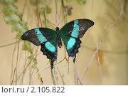 Купить «Тропическая бабочка», фото № 2105822, снято 3 ноября 2010 г. (c) Наталья Волкова / Фотобанк Лори