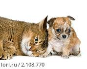 Купить «Кошка и щенок чихуахуа», фото № 2108770, снято 29 октября 2010 г. (c) Vladimir Suponev / Фотобанк Лори