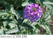 Купить «Вербена. Verbena», эксклюзивное фото № 2109338, снято 17 июля 2010 г. (c) Шичкина Антонина / Фотобанк Лори