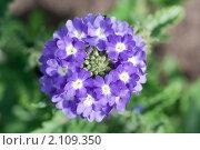 Купить «Вербена. Verbena», эксклюзивное фото № 2109350, снято 17 июля 2010 г. (c) Шичкина Антонина / Фотобанк Лори