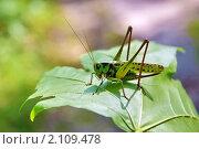 Купить «Кузнечик на кленовом листе», фото № 2109478, снято 23 июля 2010 г. (c) Александр Шилин / Фотобанк Лори