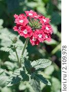 Купить «Вербена. Verbena», эксклюзивное фото № 2109978, снято 24 июля 2010 г. (c) Шичкина Антонина / Фотобанк Лори