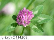 Купить «Клевер луговой. Trifolium pratense», эксклюзивное фото № 2114938, снято 29 июня 2010 г. (c) Шичкина Антонина / Фотобанк Лори