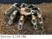 Купить «Мексиканский красноколенный паук-птицеед (Brachypelma smithi)», фото № 2116786, снято 3 ноября 2010 г. (c) Наталья Волкова / Фотобанк Лори