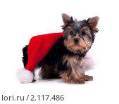Купить «Щенок йоркширского терьера», фото № 2117486, снято 20 декабря 2009 г. (c) Cветлана Гладкова / Фотобанк Лори