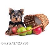 Купить «Щенок йоркширского терьера», фото № 2123750, снято 20 сентября 2019 г. (c) Cветлана Гладкова / Фотобанк Лори