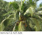 Купить «Кокосовая пальма», фото № 2127326, снято 6 февраля 2010 г. (c) Александр Солдатенко / Фотобанк Лори