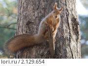 Купить «Белка на сосне», эксклюзивное фото № 2129654, снято 11 октября 2009 г. (c) Шичкина Антонина / Фотобанк Лори