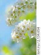 Цветы черемухи. Стоковое фото, фотограф Олег Кириллов / Фотобанк Лори