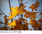 Осенние кленовые листья на фоне неба. Стоковое фото, фотограф Yury Ivanov / Фотобанк Лори