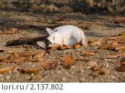 Черно-белый кот лежит на земле, покрытой осенними листьями. Стоковое фото, фотограф Елена Олешко / Фотобанк Лори