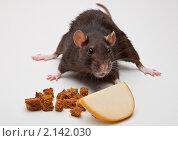 Домашняя крыса с сухариками и сыром. Стоковое фото, фотограф Виктор Березин / Фотобанк Лори