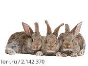 Купить «Три молодых коричневых кролика», фото № 2142370, снято 9 ноября 2010 г. (c) Дмитрий Калиновский / Фотобанк Лори