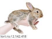 Купить «Кролик в руке», фото № 2142418, снято 9 ноября 2010 г. (c) Дмитрий Калиновский / Фотобанк Лори
