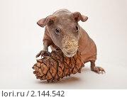 Морская свинка с кедровой шишкой. Стоковое фото, фотограф Виктор Березин / Фотобанк Лори