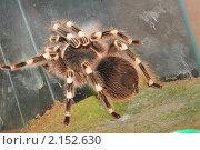 Купить «Паук-птицеед», фото № 2152630, снято 21 ноября 2010 г. (c) Иванова Анастасия / Фотобанк Лори