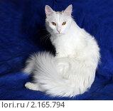 Купить «Кошка-модель», фото № 2165794, снято 24 октября 2007 г. (c) Павлова Татьяна / Фотобанк Лори