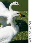 Купить «Два лебедя у озера», фото № 2172770, снято 11 июля 2009 г. (c) Пересыпкина Елена Игоревна / Фотобанк Лори