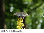 Махаон - дальневосточная бабочка. Стоковое фото, фотограф Марина Когута / Фотобанк Лори