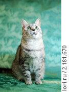 Купить «Кошка серебристо-черной в полоску окраски на зеленом фоне», фото № 2181670, снято 24 ноября 2010 г. (c) Анастасия Некрасова / Фотобанк Лори