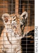 Маленький тигренок в клетке. Стоковое фото, фотограф Galina Zakovorotnaya / Фотобанк Лори