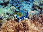 Рыба-попугай на коралловом рифе в Красном море, Египет, фото № 2190814, снято 14 января 2010 г. (c) Михаил Марковский / Фотобанк Лори