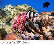 Купить «Тропические рыбки на коралловом рифе в Красном море, Египет», фото № 2191698, снято 11 января 2010 г. (c) Михаил Марковский / Фотобанк Лори