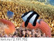 Купить «Тропические рыбки на коралловом рифе в Красном море, Египет», фото № 2191702, снято 16 января 2010 г. (c) Михаил Марковский / Фотобанк Лори