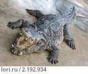 Крокодил крупным планом. Стоковое фото, фотограф Александр Гавриченко / Фотобанк Лори