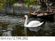 Лебедь. Стоковое фото, фотограф Vasilii Olii / Фотобанк Лори