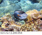 Купить «Тропическая рыбка на коралловом рифе в Красном море, Египет», фото № 2200054, снято 16 января 2010 г. (c) Михаил Марковский / Фотобанк Лори