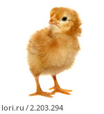 Купить «Рыжий цыпленок на белом фоне», фото № 2203294, снято 4 августа 2010 г. (c) Васильева Татьяна / Фотобанк Лори