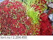 Купить «Земля Франца-Иосифа. флора», фото № 2204450, снято 22 июля 2010 г. (c) Владимир Мельник / Фотобанк Лори