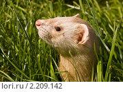 Портрет хорька в траве. Стоковое фото, фотограф Александр Подобедов / Фотобанк Лори