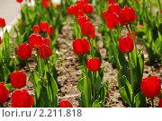 Купить «Красные тюльпаны на клумбе», фото № 2211818, снято 8 мая 2009 г. (c) Литова Наталья / Фотобанк Лори