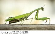 Купить «Зеленый богомол в профиль», фото № 2216830, снято 25 сентября 2010 г. (c) Михаил Иванов / Фотобанк Лори