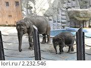Слоны в московском зоопарке. Стоковое фото, фотограф Наталья Самсонова / Фотобанк Лори