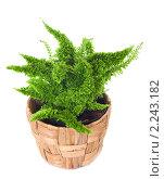 Купить «Комнатное растение нефролепис (Nephrolepis exaltata), изолированно на белом фоне», фото № 2243182, снято 29 августа 2010 г. (c) Юрий Брыкайло / Фотобанк Лори