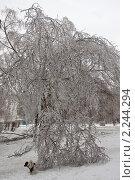 Купить «Обледеневшие ветви березы в Подмосковье», фото № 2244294, снято 26 декабря 2010 г. (c) Цветков Виталий / Фотобанк Лори