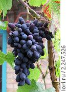 Купить «Гроздь синего винограда (сорт-Кадрянка)», фото № 2247526, снято 4 августа 2009 г. (c) Ольга Молчанова / Фотобанк Лори