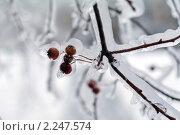 Купить «Обледенелые ветви деревьев», фото № 2247574, снято 27 декабря 2010 г. (c) Сергей Лаврентьев / Фотобанк Лори