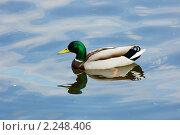 Дикая утка, живущая в пруду. Стоковое фото, фотограф Александр Радько / Фотобанк Лори